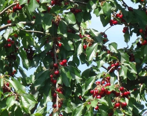 Kirschbaum mit dunkel roten, reifen, leckeren Kirschen ohne Vogelschutznetz